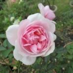 ミセスケイの薔薇コラム