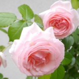 『ピンク色の花に囲まれたローズガーデン』の画像