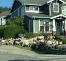 草を食い尽くした除草用ヤギ、草を求めワシントンの住宅地に数十匹脱走 牧羊犬「UTωT)」