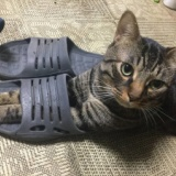 【画像】うちの猫がワイのスリッパを履いて困るんやがどうしたらええねん