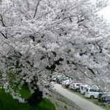 『桜満開。』の画像