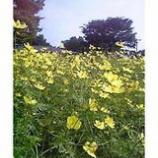 『昭和公園「コスモス」』の画像