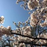 『桜。』の画像