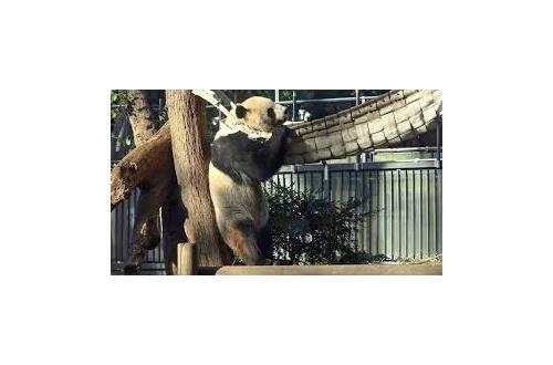 上野動物園のシャンシャンの監視カメラwwwwwwwwwwwwwwwのサムネイル画像