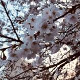 『cherryblossom』の画像