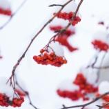 『冬のナナカマドWinter Sorbus commixta.』の画像