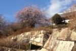 星田公園の枝垂れ梅の花がキレイに咲いてる!【情報提供:きたっちさん】