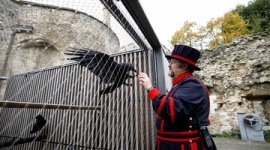 【伝承】英国の命運握るロンドン塔のカラス1羽が行方不明
