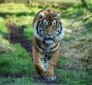 雄のトラが雌を殺 す、繁殖目指す初接触で急変 離そうとするも間に合わず/ロンドン動物園