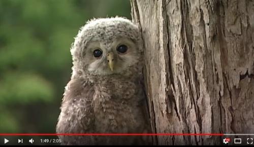 北海道の幼いエゾフクロウが可愛すぎると海外からも熱視線