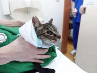 最後の猫 たまお 病院