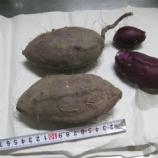 『2019年 サツマイモ、「アヤムラサキ」試し掘り、その後2株掘り』の画像