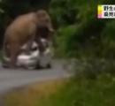 【動画】野生のゾウが乗用車襲い踏みつぶす