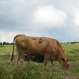 『山内さん家の牛』の画像