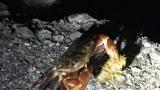海行ったらカニがお食事してたwww(※画像あり)