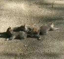 助けて!尻尾が絡まった!ダンゴ状になった4匹のリス カナダで発見