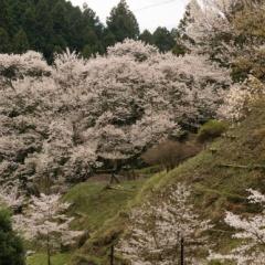 佛隆寺と諸木野の桜