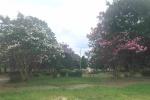 天野川緑地に咲く百日紅(さるすべり)が見頃をむかえてる!〜ピンク・白・紫の花がそれぞれ咲いてて綺麗〜
