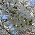 『遅咲きの桜』の画像