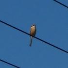 『百舌(モズ) ~庭に来る野鳥~』の画像