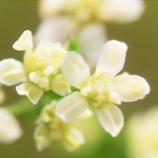 『緑砦館NOW(13)ミツバの花』の画像