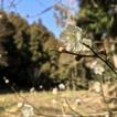 葉山 上山口・木古庭の自然 「大沢谷の梅」
