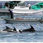 和歌山・太地でイルカ漁始まり…世界から依然批判の声