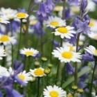 『庭に春を呼ぶ秋まきの丈夫な花ノースポールの育て方』の画像