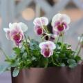 エボニーに初の花芽が~(*^^*)&ビオラとキンズ