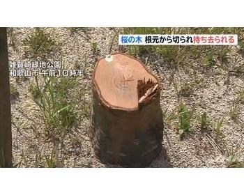 雑賀崎緑地公園で地元ボランディアが植樹した桜の木が根本から切られ持ち去られる(現場画像あり) 和歌山市