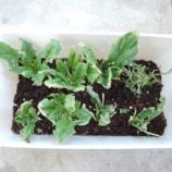 『再生野菜(リボベジ)から得た認知行動療法のヒント [ベランダ菜園]』の画像