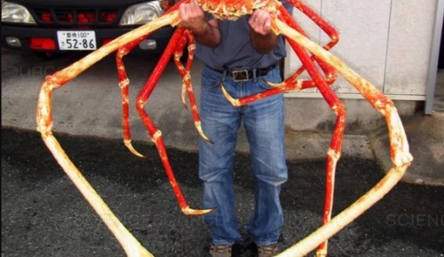 外国人「これはタカアシガニ、日本近海に生息する世界最大のカニだ」(海外の反応)