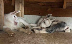 よく走ってよく眠る ヤギの赤ちゃん