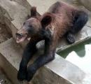 【虐待?】中国の動物園のクマがガリガリ過ぎと話題に 動物園「ぬ、抜け毛のシーズンだから!」