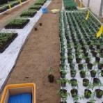 トマト農家の南島原No.1を目指す栽培日誌