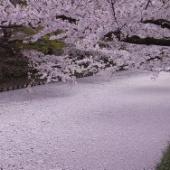 弘前さくらまつり 弘前城のお堀を埋め尽くす薄紅色の絨毯