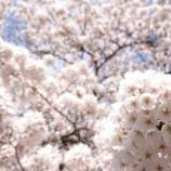 『松の丸公園の桜』の画像
