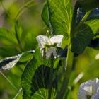 『投稿:BORG36EDによる植物・カエル・カメ・セミ 2021/03/17』の画像