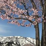 『東北に春』の画像