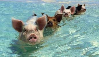 【国際】美しい海と豚と。