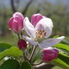 『リンゴの花が咲きました』の画像