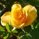 『バラが病気から回復! 秋バラが楽しめそうです!!』の画像