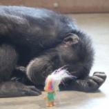 『 心の光と崇高な目的:チンパンジーとトロール人形』の画像