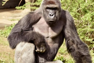人間と高度な意思疎通が出来る唯一の動物 ゴリラについて