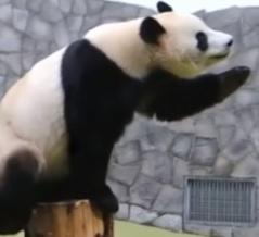 モスクワ動物園のジャイアントパンダの可愛い姿にほっこり!
