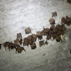 『キクガシラコウモリ月間の開始』の画像