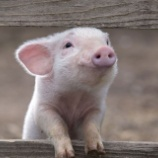 『北米最後の動物外科実習大学も動物使用の廃止を決定』の画像