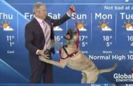 【動画】自由奔放な犬と一緒に天気予報を伝える番組が人気らしい!!!