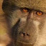 『ヒヒの女王 トゥブの物語 2 ~アフリカ ボツワナ~【書き起こし】地球ドラマチック』の画像