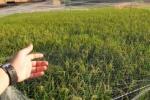 鉄壁のディフェンス!『防鳥ネット』が田んぼに張られてる!~稲はスクスク育ってる様子~